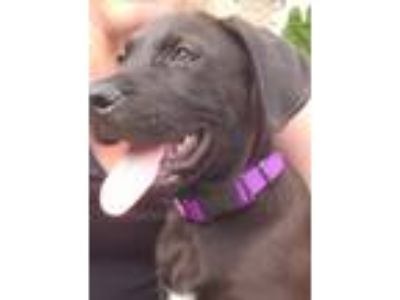 Adopt Moe a Black Great Dane / Mixed Breed (Large) / Mixed dog in Huntsville