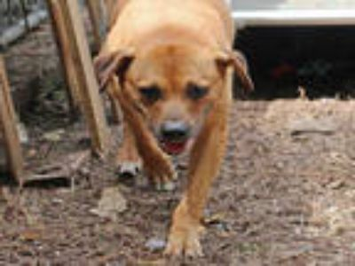 Adopt LITTLE BOY a Brown/Chocolate Labrador Retriever / Mixed dog in Fort Walton