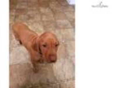 12 week old Female Vizsla for sale!