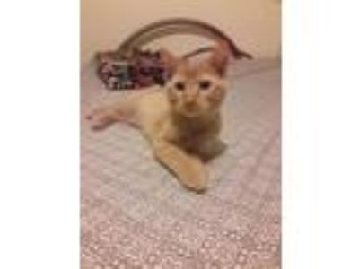 Adopt Elijah a Domestic Short Hair