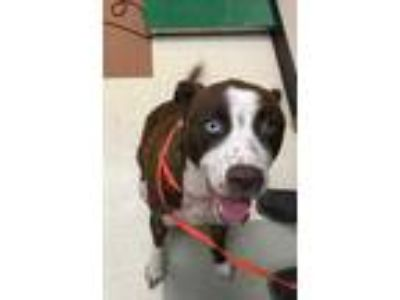 Adopt MARK a Brown/Chocolate Husky / Mixed dog in Mesquite, TX (25592864)