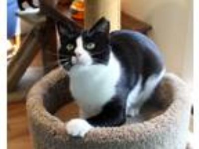 Adopt Ben a Black & White or Tuxedo Domestic Shorthair (short coat) cat in