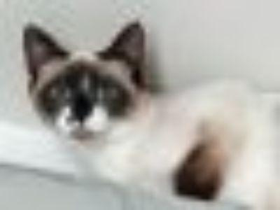Diva Snowshoe - Siamese Cat