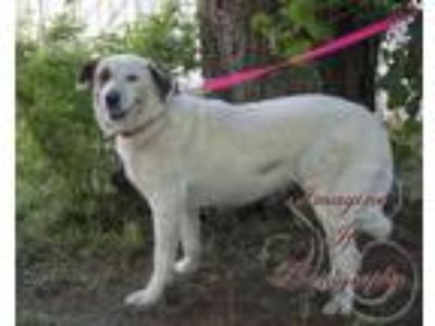 Adopt Addie a Great Pyrenees