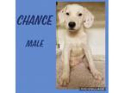 Adopt Chance meet me 6/28 a White Hound (Unknown Type) / Mixed dog in East