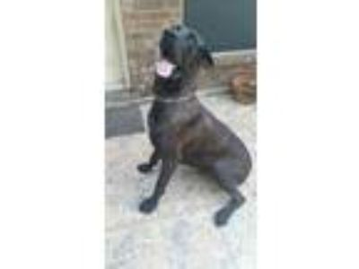 Adopt Bruce a Black - with Tan, Yellow or Fawn Great Dane / Mastiff dog in