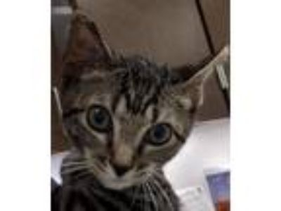 Adopt Scout a Domestic Shorthair / Mixed (short coat) cat in Houston