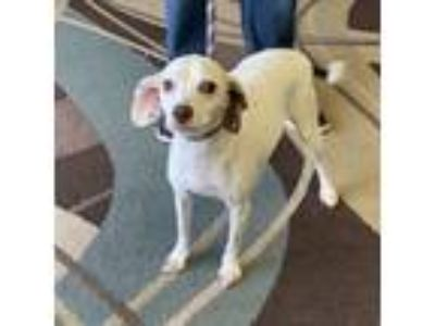 Adopt Hannah a White - with Black Terrier (Unknown Type, Small) dog in