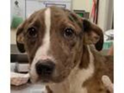 Adopt PEARL a Brown/Chocolate Catahoula Leopard Dog / Mixed dog in San Antonio