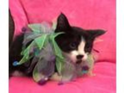 Adopt Alice a Domestic Short Hair
