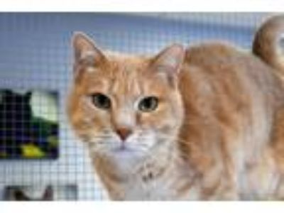 Adopt Logan a Tan or Fawn Tabby Domestic Shorthair (short coat) cat in Lincoln