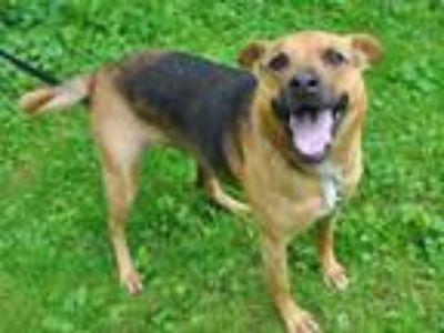Adopt Kelly a Shepherd (Unknown Type) / Retriever (Unknown Type) / Mixed dog in
