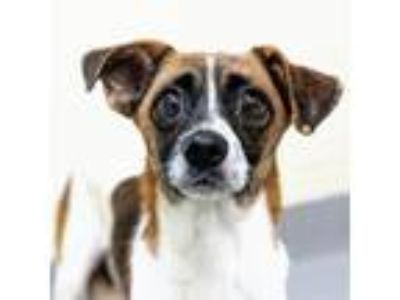 Adopt Dusty a Brown/Chocolate Rat Terrier / Mixed dog in Atlanta, GA (25625906)