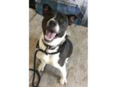 Adopt BAILEY a Pit Bull Terrier, Labrador Retriever