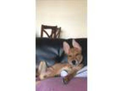 Adopt Rocky a Tan/Yellow/Fawn Husky / German Shepherd Dog / Mixed dog in