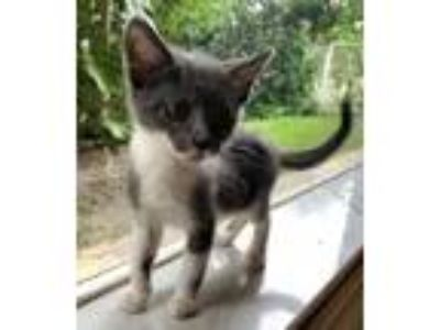 Adopt Stormie a Domestic Short Hair