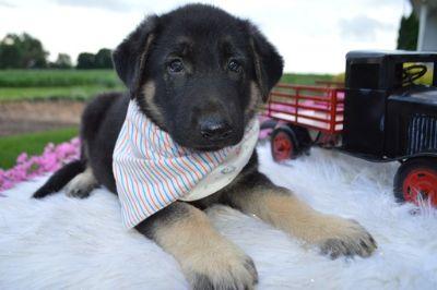 German Shepherd Dog PUPPY FOR SALE ADN-88634 - ROMEO