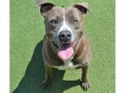 Adopt Tupac-Diamond Dog $75 Adoption Fee! a Pit Bull Terrier / Mixed dog in