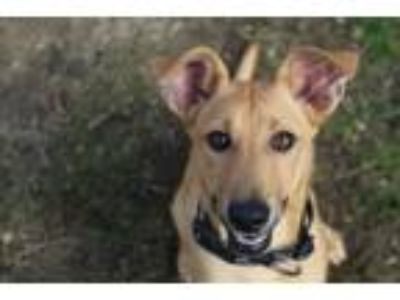 Adopt Val a Shepherd, Mixed Breed