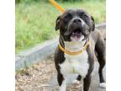 Adopt Sid a Black - with White American Pit Bull Terrier / Mixed dog in Oakland