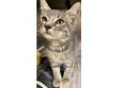 Adopt 41931703 a Gray or Blue Domestic Shorthair / Domestic Shorthair / Mixed