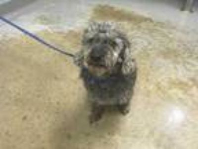 Adopt 42257101 a Gray/Blue/Silver/Salt & Pepper Poodle (Miniature) / Mixed dog