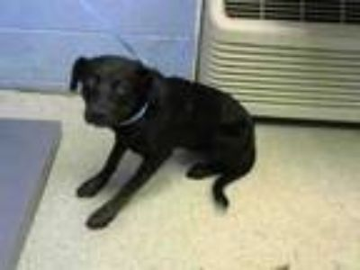 Adopt GODIVA a Pit Bull Terrier, Mixed Breed