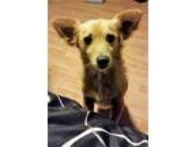 Adopt Coco a Tan/Yellow/Fawn Sheltie, Shetland Sheepdog / Pomeranian / Mixed dog