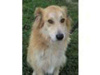 Adopt BILLIE a Great Pyrenees, Australian Shepherd