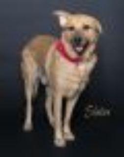 Slater Golden Retriever Dog