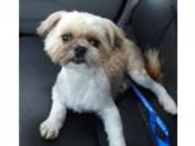 Adopt Stella Dora a Tan/Yellow/Fawn - with White Shih Tzu / Mixed dog in Van