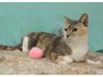 Adopt Tilde a Domestic Short Hair