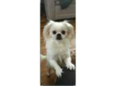Adopt Han a White - with Tan, Yellow or Fawn Tibetan Terrier dog in Stratford