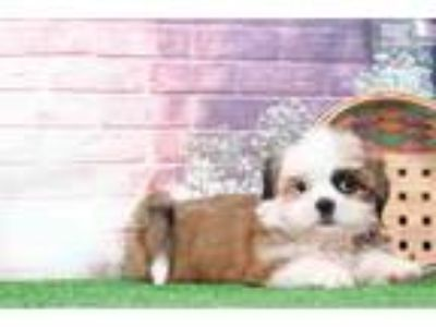 Pumpkin Female Shih-Tzu Puppy