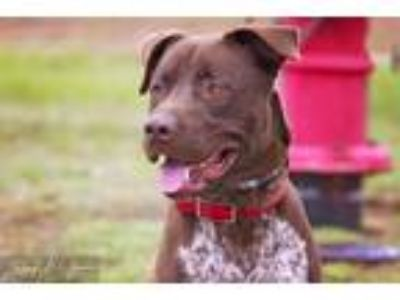 Adopt DOG IN DANGER Jake 6200 a Brown/Chocolate - with White Labrador Retriever