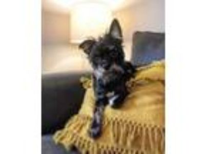 Adopt Cha Cha a Yorkshire Terrier, Brussels Griffon