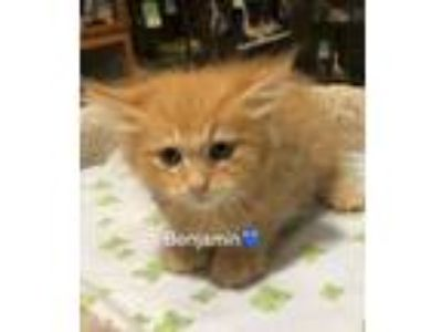 Adopt Benjamin a Domestic Short Hair