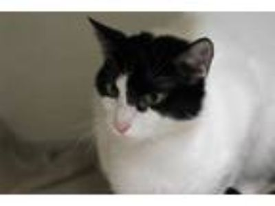Adopt EMILY a White (Mostly) Domestic Shorthair / Mixed (short coat) cat in