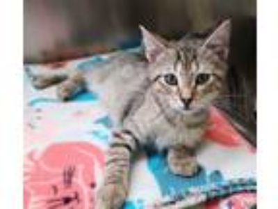 Adopt Chicken a Domestic Shorthair / Mixed cat in Corpus Christi, TX (25315469)