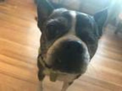 Adopt Nora in MO a Boston Terrier