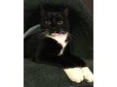 Adopt Noelle 02-4133 a Black & White or Tuxedo Domestic Shorthair / Mixed cat in