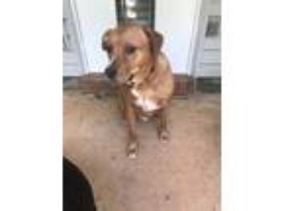 Adopt Copper a Tan/Yellow/Fawn - with White Boxer / Labrador Retriever / Mixed
