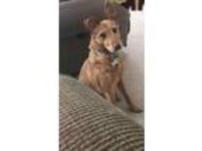 Adopt Luna a Collie / Mixed dog in Hanover, PA (21868534)