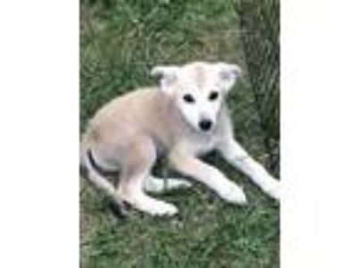 Adopt Grimer a Tan/Yellow/Fawn - with Black Husky dog in MCLEAN, VA (25586206)