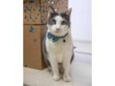 Adopt MALCOLM a White (Mostly) Domestic Shorthair / Mixed (short coat) cat in