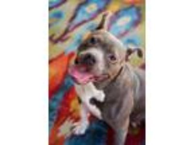 Adopt Willow a Pit Bull Terrier