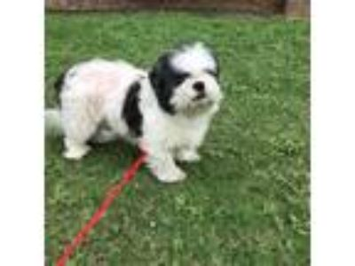 Adopt Moe a White - with Black Lhasa Apso / Shih Tzu / Mixed dog in Rocky Hill