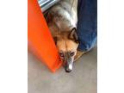 Adopt Shadow a Black - with Tan, Yellow or Fawn Australian Shepherd dog in