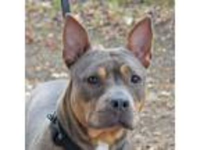 Adopt Whitney a Gray/Blue/Silver/Salt & Pepper Pit Bull Terrier / Mixed dog in