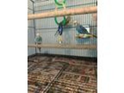 3 Parakeets and cage